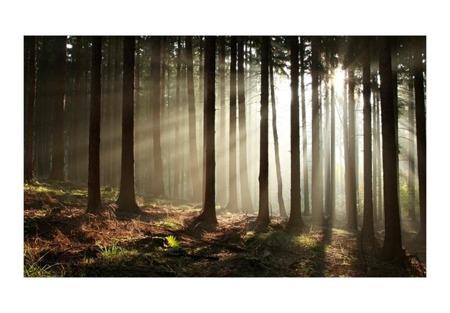Fototapeta - Las iglasty - poranna mgła